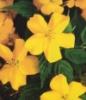 Kerria Japonica, Japanese Rose