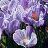 flower: крокус