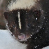Gillian: Winter Skunk