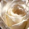 not_rose userpic