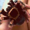it's cute, ARACHNOPHOBIA LAWL, tarantula, gif