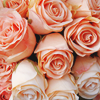 misc ~ pink roses