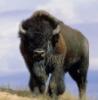 Дикий прапор: Злой бизон