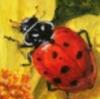 ladybug_ru
