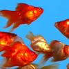 Filthy Bunny: Goldfish