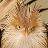 Cuckoo grump