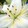 Lilies - fireflys_locket