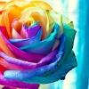 stock: multi colored rose