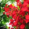sunray45: Poinciana Flowers