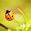 Laurie: ladybug