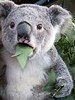 hapchu: коалла