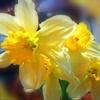 --♫ Anna--: daffodils