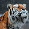 tiger snowy