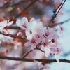 jun_chan_23: Kirschblüte