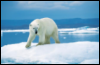 Toto_too514: Polar Bear