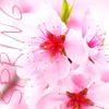 Spring_sakura flowers