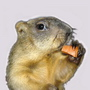main_marmot userpic