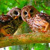 Owls~