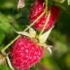 berryhunter userpic