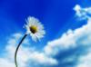 ромашка с небом