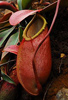 Des: Nepenthes merrilliana