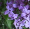 L is for lilac