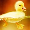 Erin: Duckling