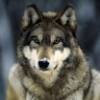 secluded_wolf userpic