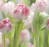 tulips, walldecor