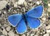 bluebfly