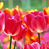 Голландия. тюльпаны розовые