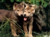 WolfCubs
