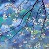 spring: sakura
