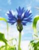 blue_eyed_anny userpic