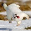 leaping stoat