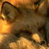 selva oscura: fox