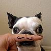 mustache doggie