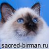 священная бирма, бирманская кошка
