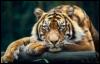 tiger_flip userpic