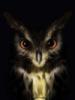 суровая сова
