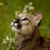 Contemplative Cougar