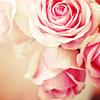 Christina: roses close