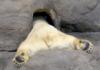 tigressee
