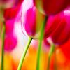 Голландия. тюльпаны снизу