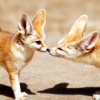 fennecs in love