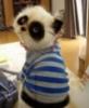 панда-кот