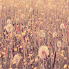safetywords: dandelion