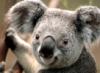 avalona24: Koala Bär