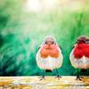 Jessica Nicole: animal; robins