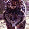 lynxwalker userpic